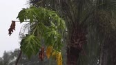 tropikal meyve : Scene of a young papaya tree with palm tree during tropical rainstorm in naples, florida, fruit can be seen, with audio. Stok Video