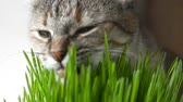 Happy cat eating fresh green grass on bright background 影像素材
