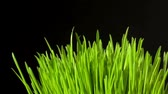 Watering grass from a spray.Fresh Green Grass against black background