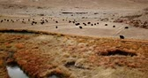 husbandry : 4K - Drone footage of yaks grazing by a river in Tibet, China Stock Footage