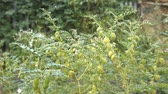 шелуха : Growing green chickpeas in the husks. 3 Shots. 1. Close-up. Vertical (from bottom to top) pan. Стоковые видеозаписи