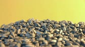 com casca : Shelled sunflower seeds on a yellow background. 2 Shots. Close-up. 1. Sunflower seeds rolling down on a yellow background. 2. Horizontal (from left to right) slow pan.