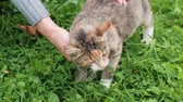 avlu : A womans hand in a sweater strokes the village cat in the yard against a background of green grass. Stok Video