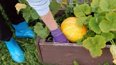 citrouille : Two young beautiful girls in sweaters are caring for the yellow pumpkin in the garden. The concept of natural economy and the cultivation of organic vegetables. Vidéos Libres De Droits