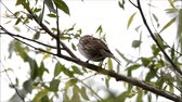 орнитология : Song sparrow singing Стоковые видеозаписи