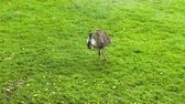 struś : Ostrich staying on the green grass Wideo