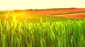 jęczmień : A agricultural field in spring in the sunset. Wideo