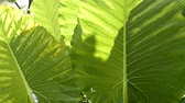 banan : Sunshine and shadow on windblown tropical leaves. Wideo