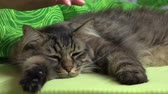 denge : Young girl petting a beautiful house cat Stok Video