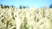 текстура : wheat field on a summer day
