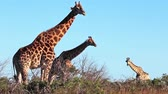 memeli : Giraffes in nature Stok Video