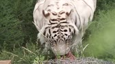 predador : white tiger, rare species