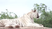 white tiger, rare species