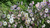 colorful : withered daisies and wind in the garden Stock Footage
