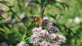 wing : butterfly on wildflower Stock Footage