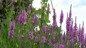 springtime : Wildflower at wind Stock Footage