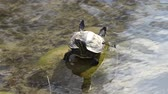 lake aquatic : cute turtles rest at sun on pond Stock Footage