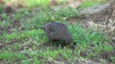 turdus merula common blackbird Стоковые видеозаписи