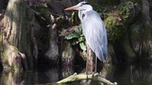 observação de aves : gray heron on pond Stock Footage