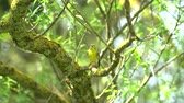 greenfinch chloris bird on tree Стоковые видеозаписи