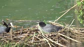 coot hatching in its nest Стоковые видеозаписи