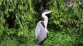 птицы : gray heron dries at sun