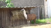 llama in the farm Стоковые видеозаписи