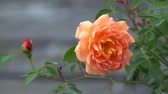 orange rose in the garden