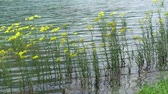 floating yellow wildflower at lake Стоковые видеозаписи
