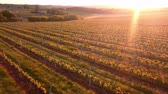 vinařství : Aerial flight over beautiful vineyard landscape in France at sunset. 4K UHD.