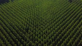 gironde : Aerial View Of A Poplar Trees Plantation, Sainte Croix Du Mont, Gironde, France
