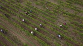 grape : Aerial view of manual harvest in south ouf france Stock Footage