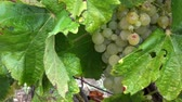 vinařství : Picking grape in vineyard close up, manual harvest