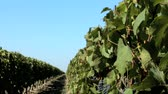 uva passa : Rows of grapevines & ripe red grapes in a vineyard, motion jib