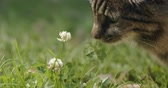 servet : Beautiful brown cat sniffing a lucky four leaf clover.