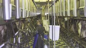 mechanized : General plan aided management of milking dairy cattle breeds.