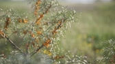 веточка : Close up view of buckthorn bushes waving in wind.