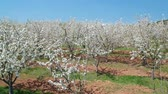 kolory : A blossoming cherry garden