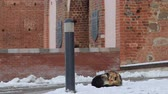 дворняжка : Homeless dog freezes on the snow near the building Стоковые видеозаписи