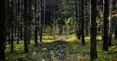 back lit : Deep forest at windy sunny day with swaying young trees