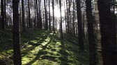 belarus : Moving uphill in deep pine-spruce forest opposite the sun Pov Shot