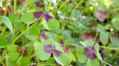 floral : Clover with four leaves Stock Footage