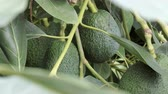 avocado tree with ripe fruits