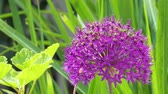 Great flowering allium blossom