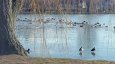 wild ducks and wild geese on a frozen lake
