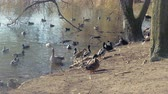many wild geese and ducks on the lake shore Stock Footage