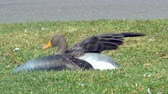 injured wild goose with broken leg Stock Footage