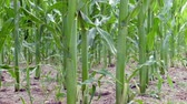 tracking shot through maize field Stock Footage