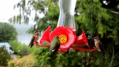 pairar : Hummingbirds actively feeding in spring. Footage filmed in British Columbia, species -Rufous Hummingbird