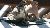 telephoto lens : A dove sits on its nest with its two babies Stock Footage